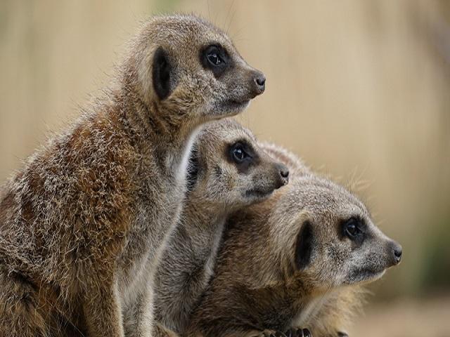 The meerkat project